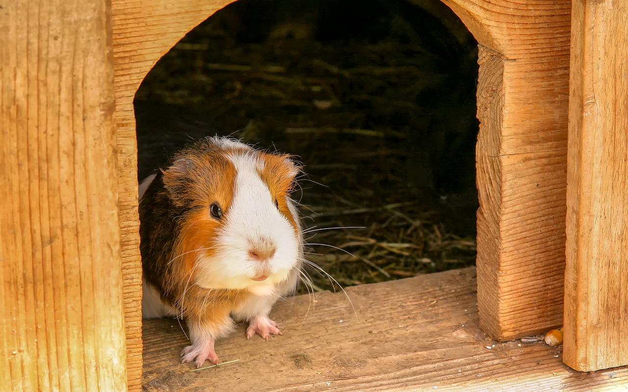 Can You Bathe Guinea Pigs With Baby Shampoo My Pet Guinea Pig
